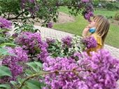 Smell of a Lilac