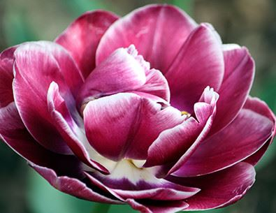 close up of a tulip in full bloom